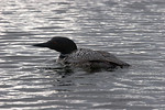 Common Loon, also known as Great Northern Diver, on a lake in Central Alberta